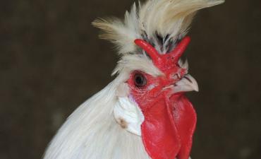 Coq Appenzelloise huppé