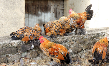 Poules naines Sabelpoot